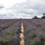英國工作假期—Mayfield Lavender