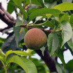 果樹成長日記